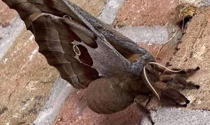 Una extraña tarántula con alas aterroriza a EE.UU. y México