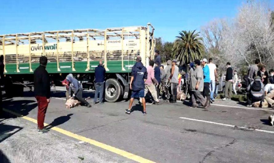 Volcó un camión jaula y violaron la cuarentena para carnear cerdos en plena ruta