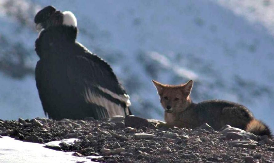 Postal única en el Aconcagua: un cóndor y un zorro compartieron un momento extraordinario