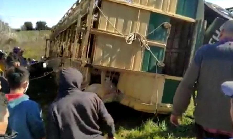 Volcó camión que transportaba chanchos: los vecinos lo saquearon y faenaron los animales