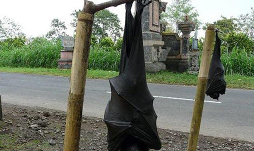 Terror: fotografían a un murciélago del tamaño de un ser humano