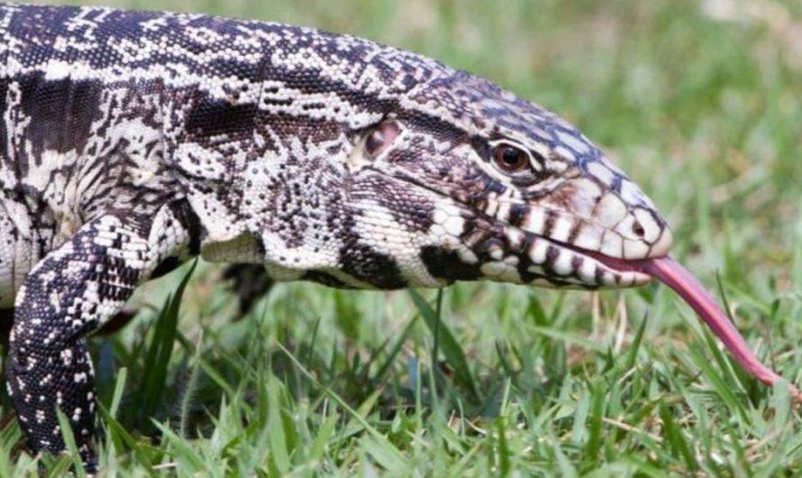 Invasión de lagartos argentinos en Estados Unidos: esto dicen los biólogos