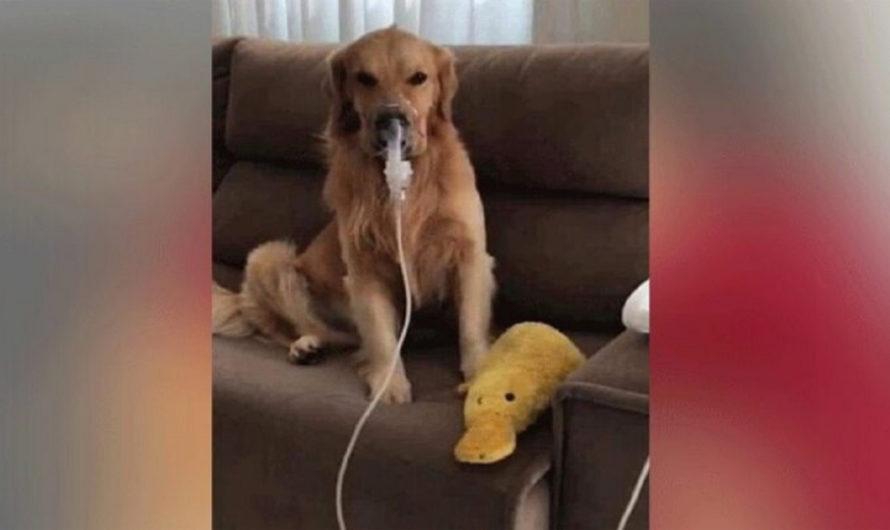 El perrito asmático que fue brutalmente maltratado y abandonado: fue adoptado y recibe todos los cuidados para su enfermedad