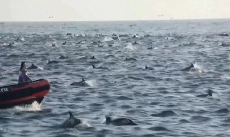[VIDEOS IMPACTANTES] Así es como miles de delfines rodearon a un barco en California
