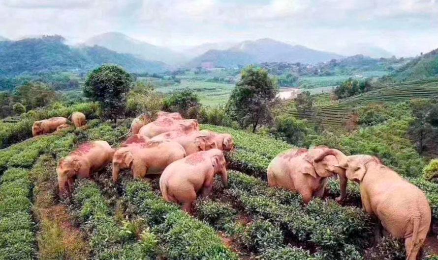 Simpáticos elefantes borrachos se vuelven virales