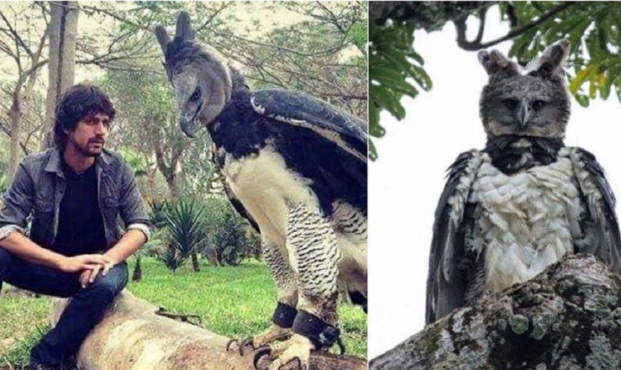 Impactante: todo sobre el águila arpía, el ave de gran tamaño que conquista internet [FOTOS y VIDEO]