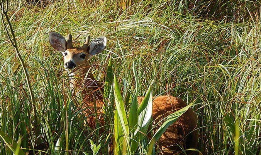 Sorprendió a varios vecinos la aparición de un ejemplar de ciervo en peligro de extinción