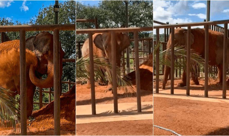 El final más feliz: la elefanta Mara llegó a su nueva casa en Brasil