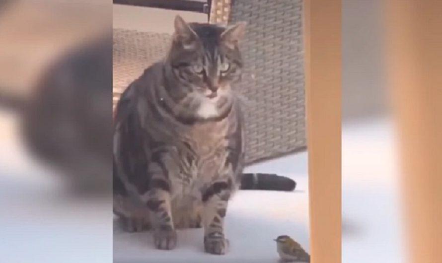 VIDEO: Gatito obeso intentó jugar con un pajarito y terminó provocando un inesperado accidente